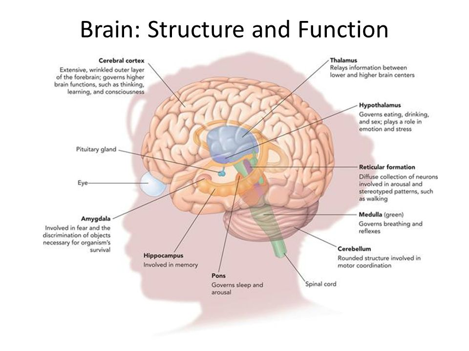 brain function Function of many organs within our body it also determines how we respond to stressful situations (such as taking a test anatomy of the brain figure 1.