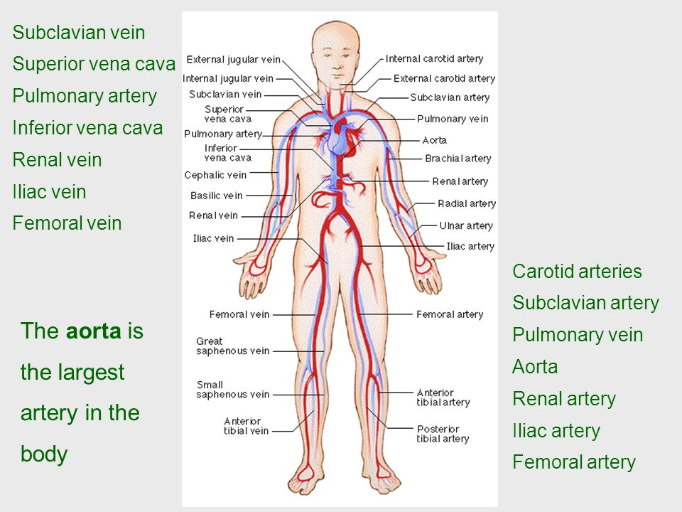circulatory system premedical. - ppt download, Human Body