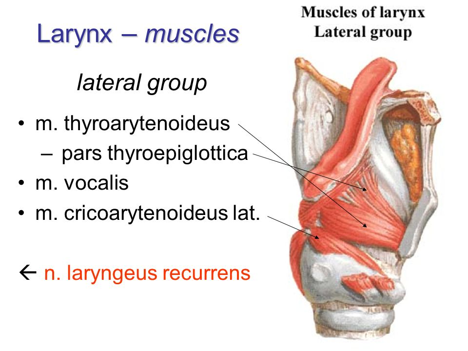 Respiratory system I.. - ppt video online download