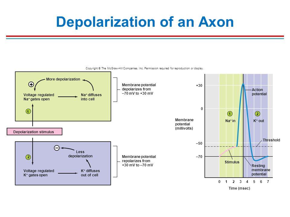 Depolarization Of An Axon