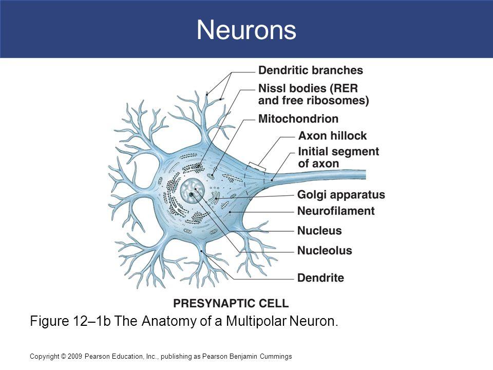 Modern Anatomy Of A Multipolar Neuron Crest - Anatomy Ideas - yunoki ...