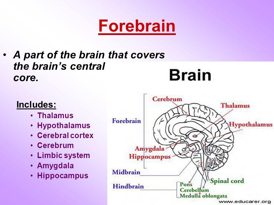 central core of the brain compared to cerebral cortex Mapping the structural core of human cerebral cortex cortex a comparison of we suggest that the structural core of the brain may have a central role in.
