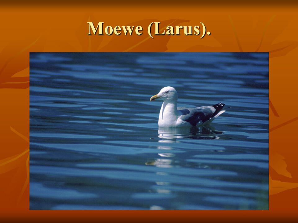 Moewe (Larus).
