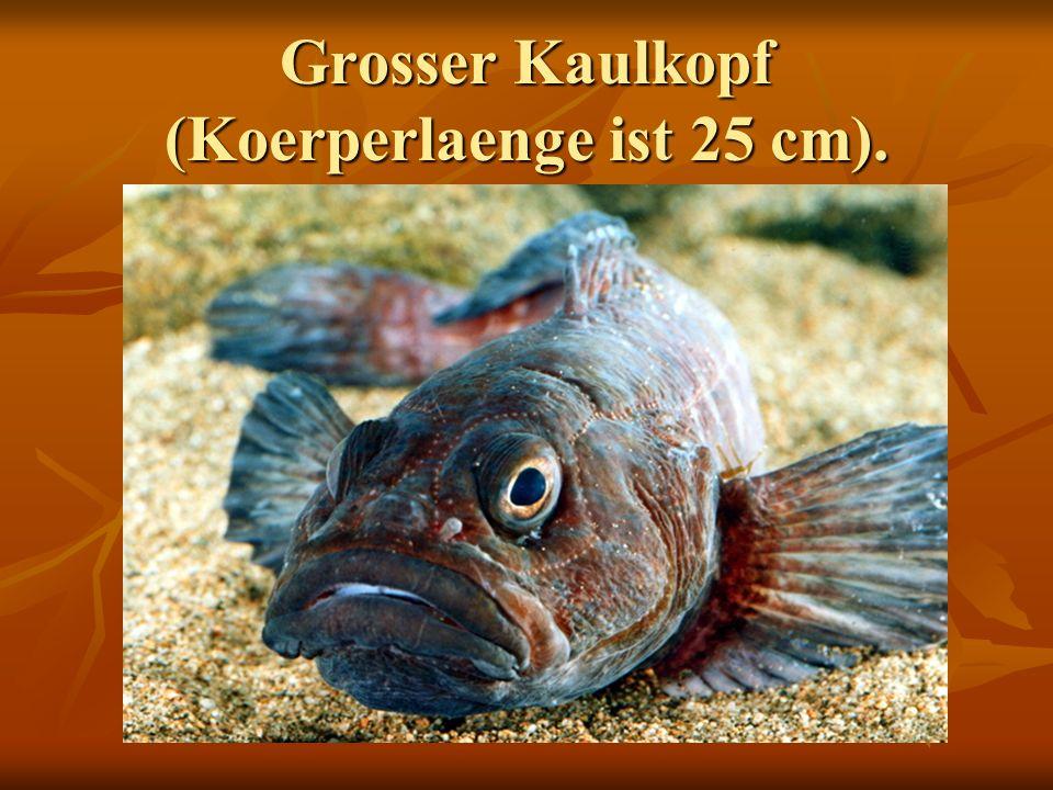 Grosser Kaulkopf (Koerperlaenge ist 25 cm).