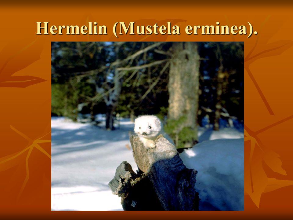 Hermelin (Mustela erminea).