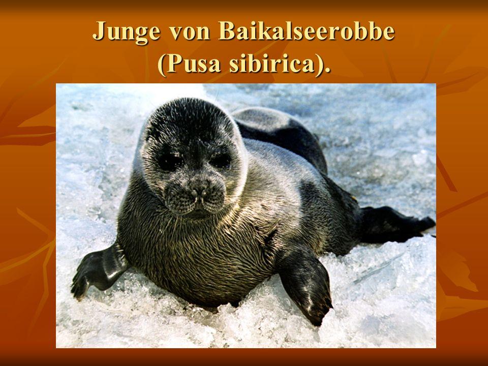 Junge von Baikalseerobbe (Pusa sibirica).