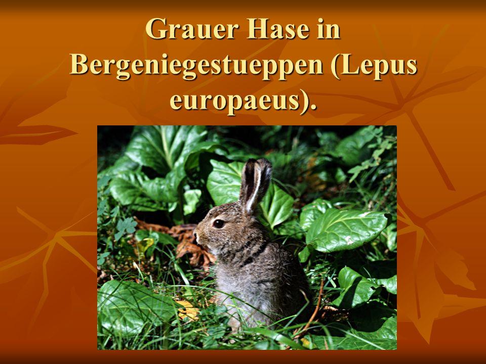 Grauer Hase in Bergeniegestueppen (Lepus europaeus).