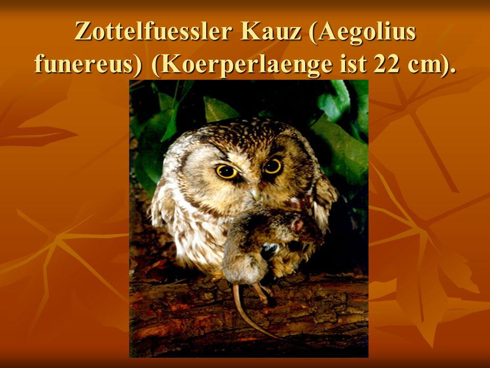Zottelfuessler Kauz (Aegolius funereus) (Koerperlaenge ist 22 cm).