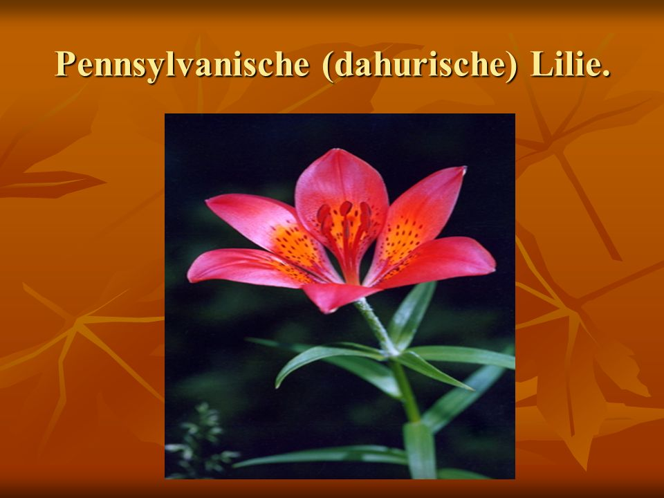Pennsylvanische (dahurische) Lilie.