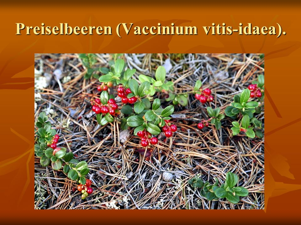 Preiselbeeren (Vaccinium vitis-idaea).