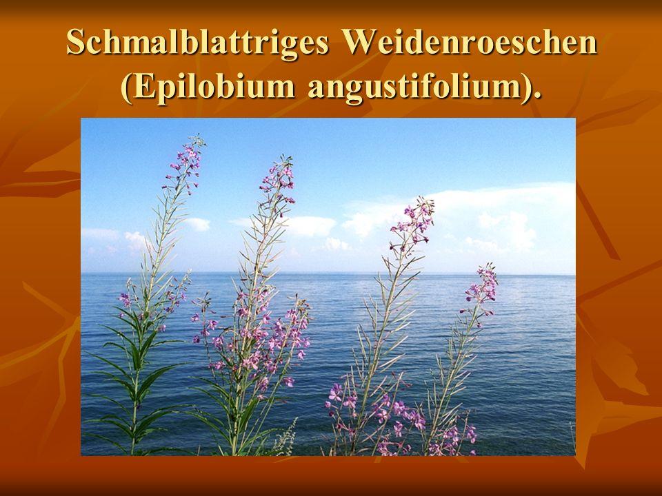 Schmalblattriges Weidenroeschen (Epilobium angustifolium).