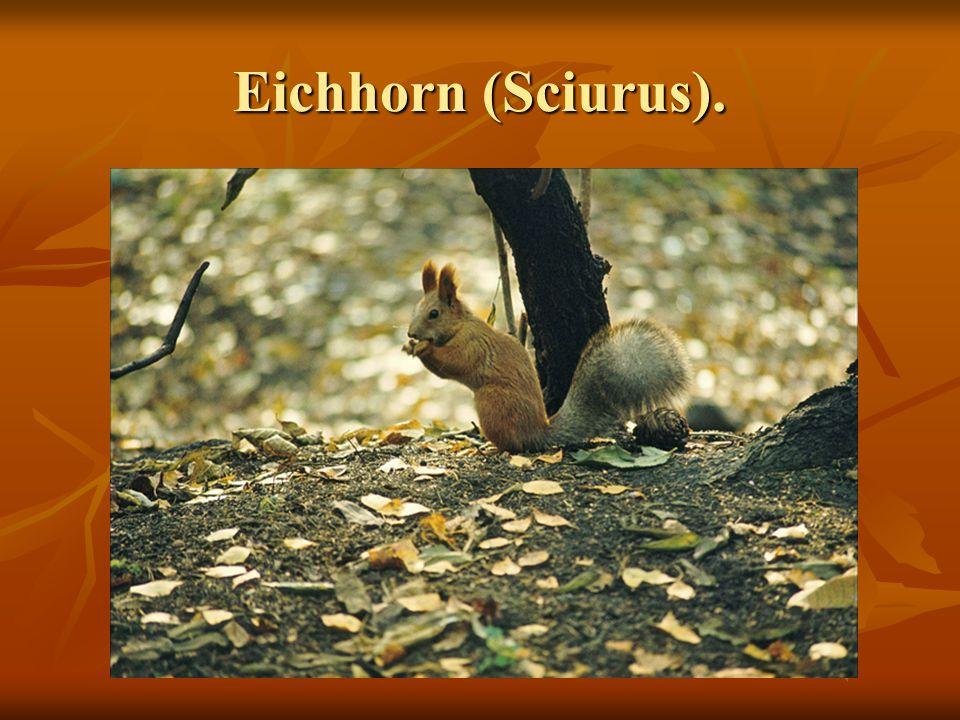 Eichhorn (Sciurus).