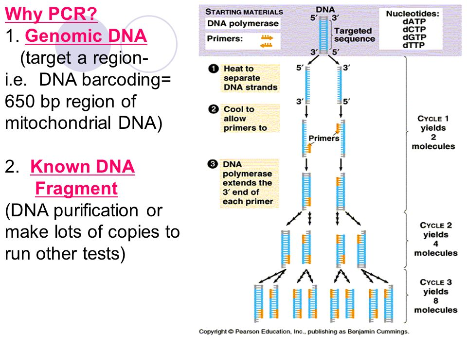 """mitochondrial dna barcoding With a subset of a subset of dna, """"skeptics of coi barcoding raised a number of objections about its power and/or generality as a single simple metric applicable to the entire animal kingdom, including: the small fraction of the genome (about 5% of the mitochondrial genome and less than one millionth of the total organism's genome [total."""