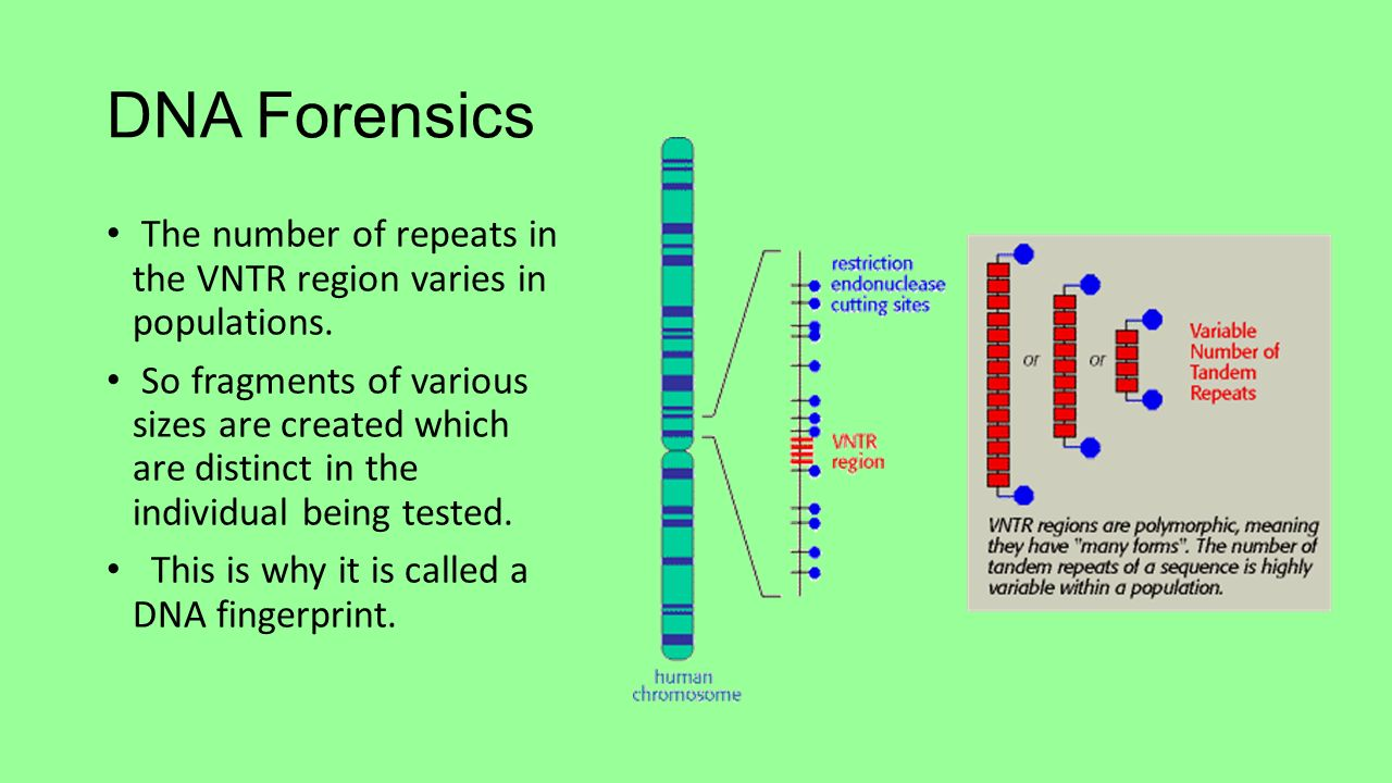 dna in forensics Dna evidence from both the victim's blood and the perpetrator's skin cells may be available from this hammer (courtesy of nfstc) as technology advances, forensic scientists are able to analyze smaller and smaller biological samples to develop a dna profile.