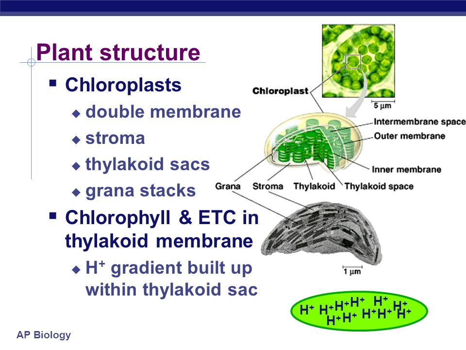 Photosynthesis: Life from Light - ppt download