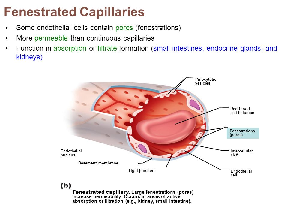 Fenestrated Capillaries