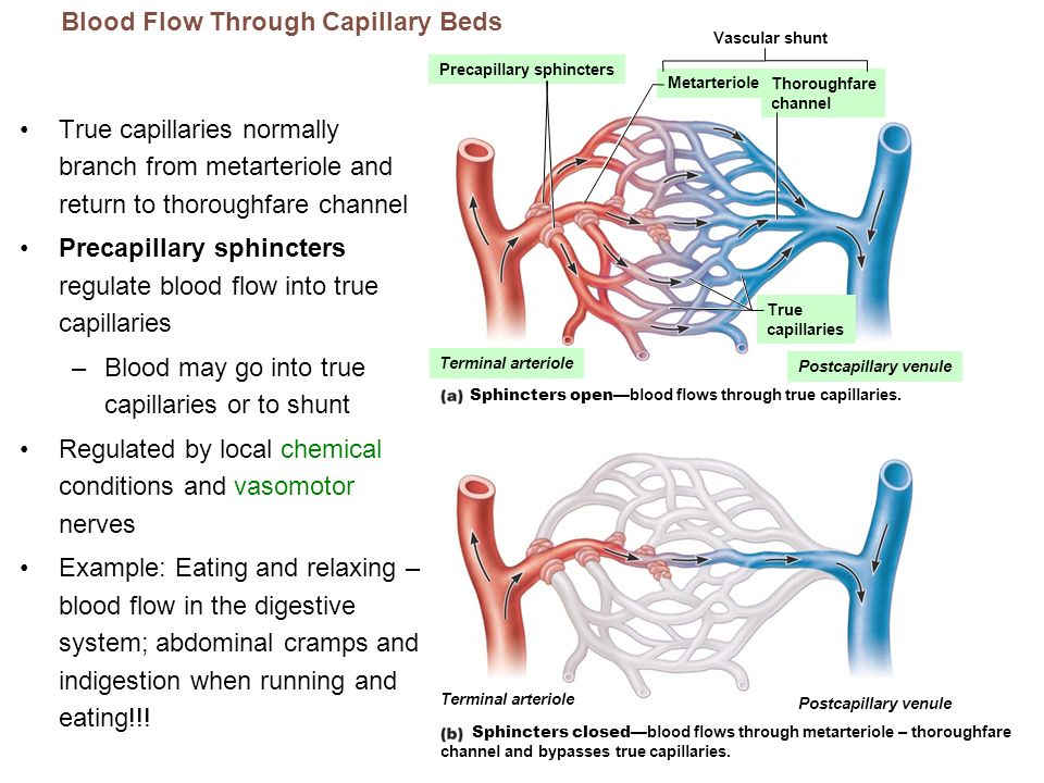 Blood Flow Through Capillary Beds