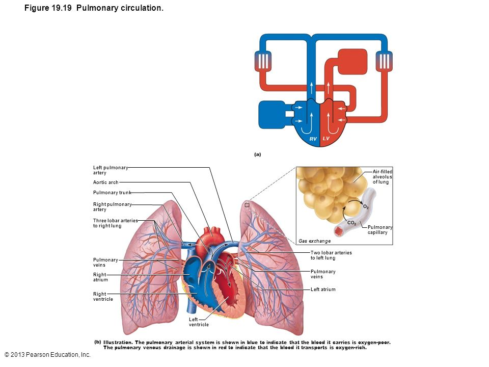 Figure 19.19 Pulmonary circulation.