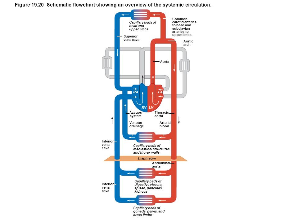 Figure 19.20 Schematic flowchart showing an overview of the systemic circulation.