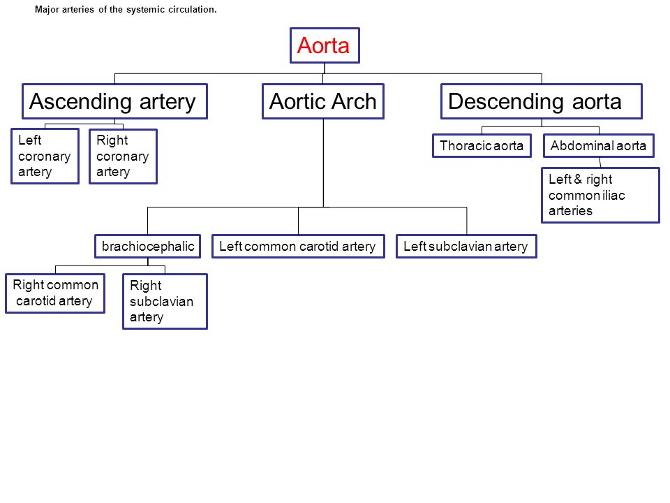 Aorta Ascending artery Aortic Arch Descending aorta