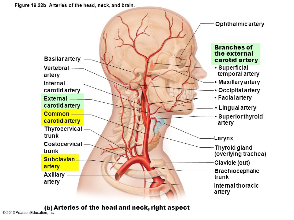 Arteries of the head and neck, right aspect