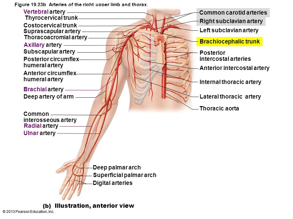 Thoracoacromial artery Superficial palmar arch