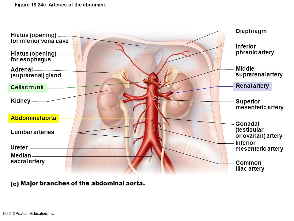 Major branches of the abdominal aorta.
