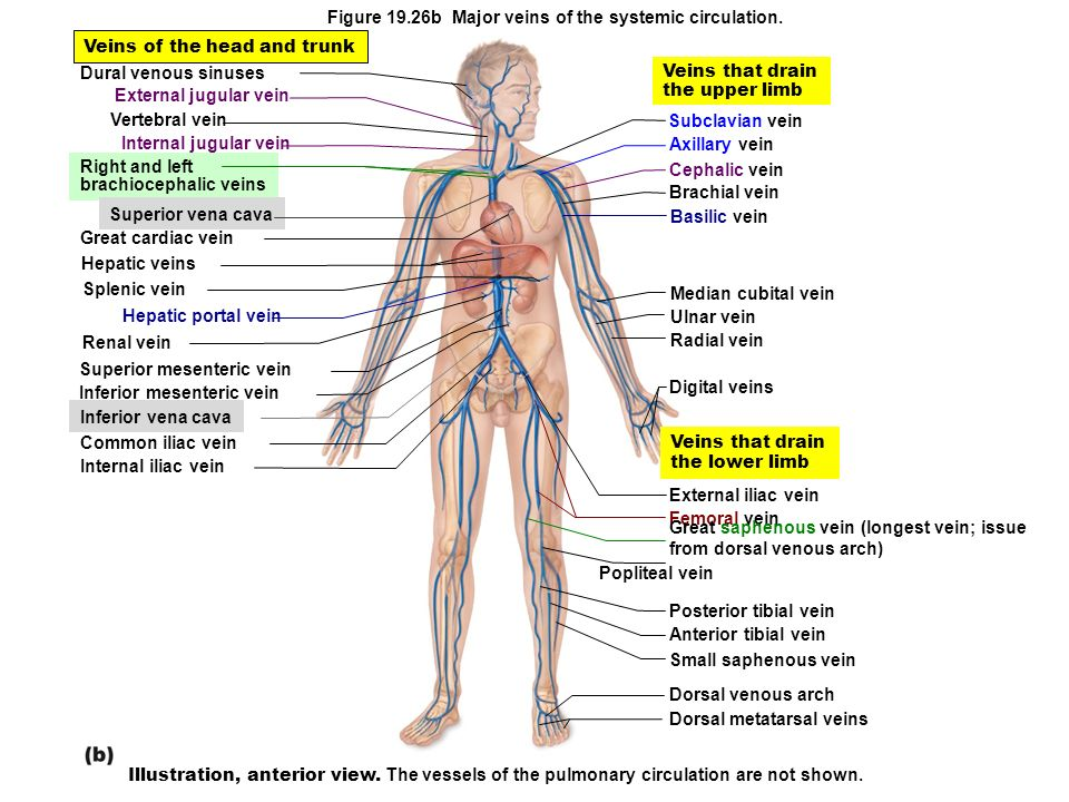 Figure 19.26b Major veins of the systemic circulation.
