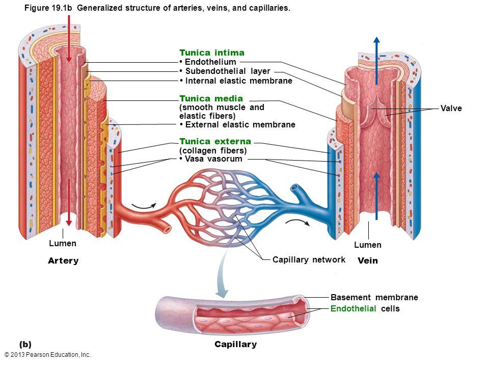 • Internal elastic membrane • External elastic membrane