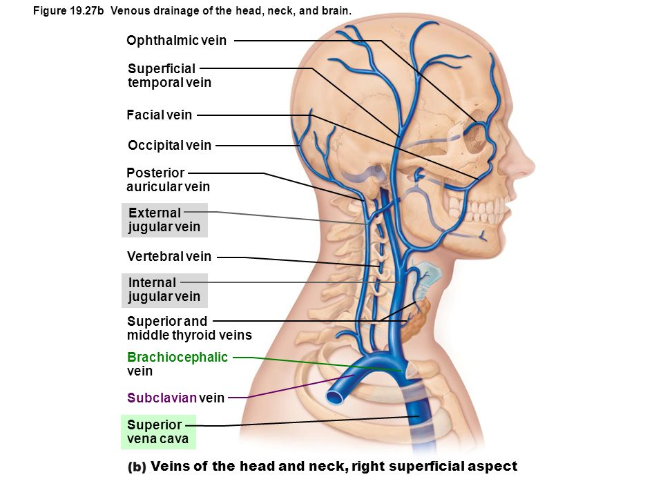 Veins of the head and neck, right superficial aspect