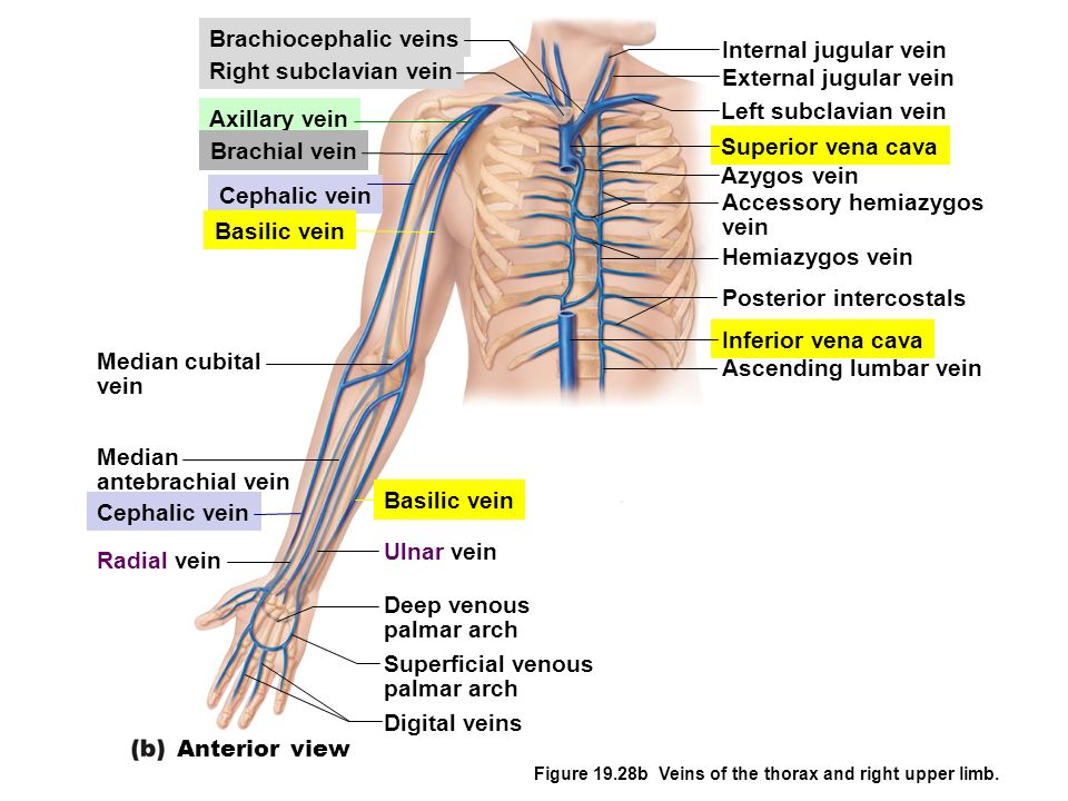Brachiocephalic veins Internal jugular vein Right subclavian vein