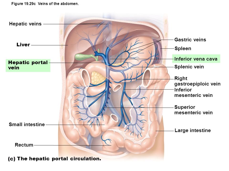 The hepatic portal circulation.