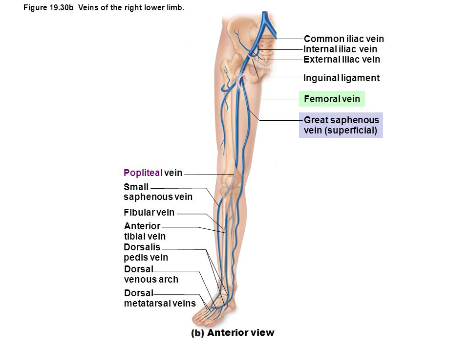 Common iliac vein Internal iliac vein External iliac vein