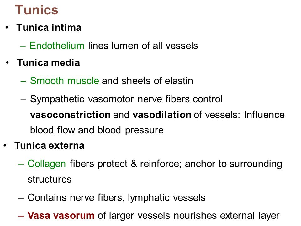 Tunics Tunica intima Endothelium lines lumen of all vessels