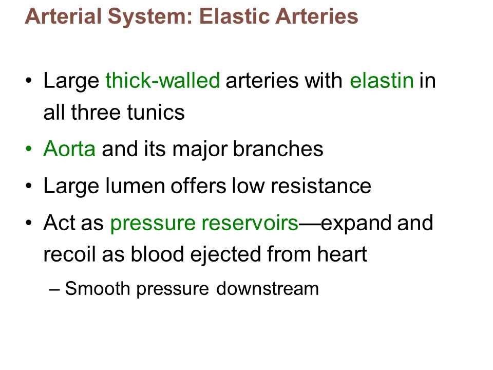 Arterial System: Elastic Arteries