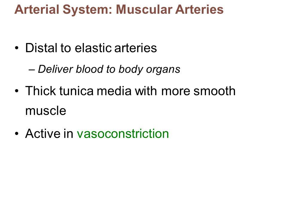 Arterial System: Muscular Arteries