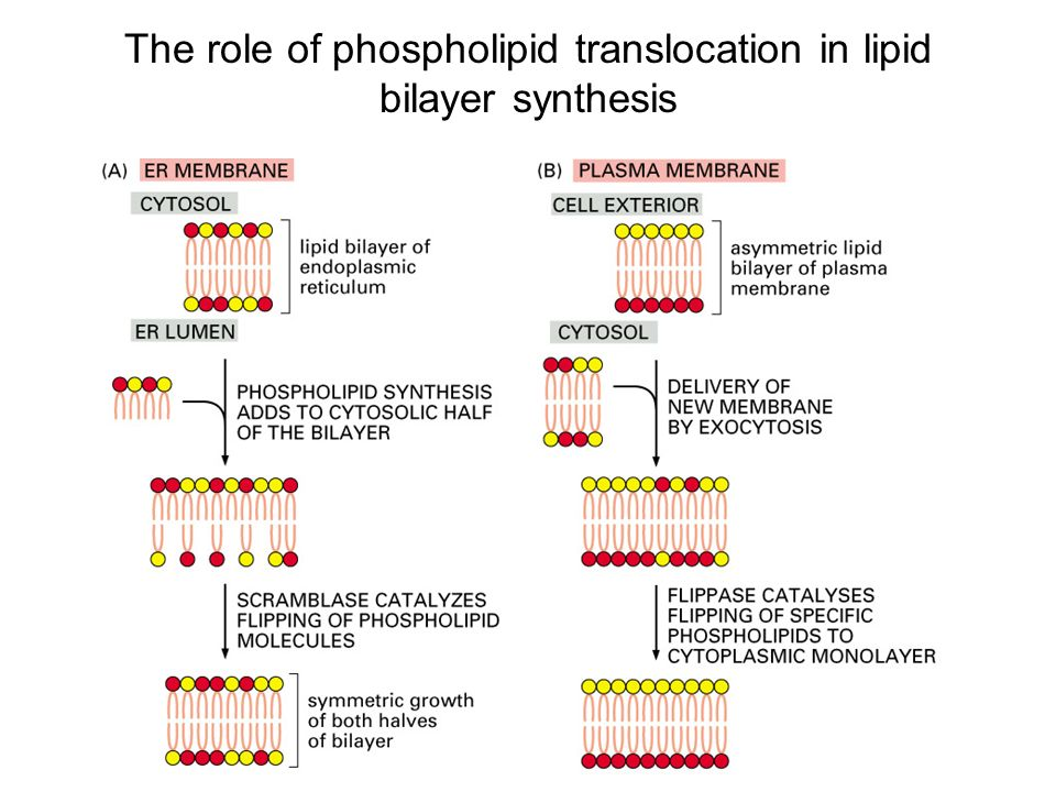 the role of lipids in the It is now known that lipids play a much more important role in the body than  previously believed it was previously known that lipids played the role of storage  of.
