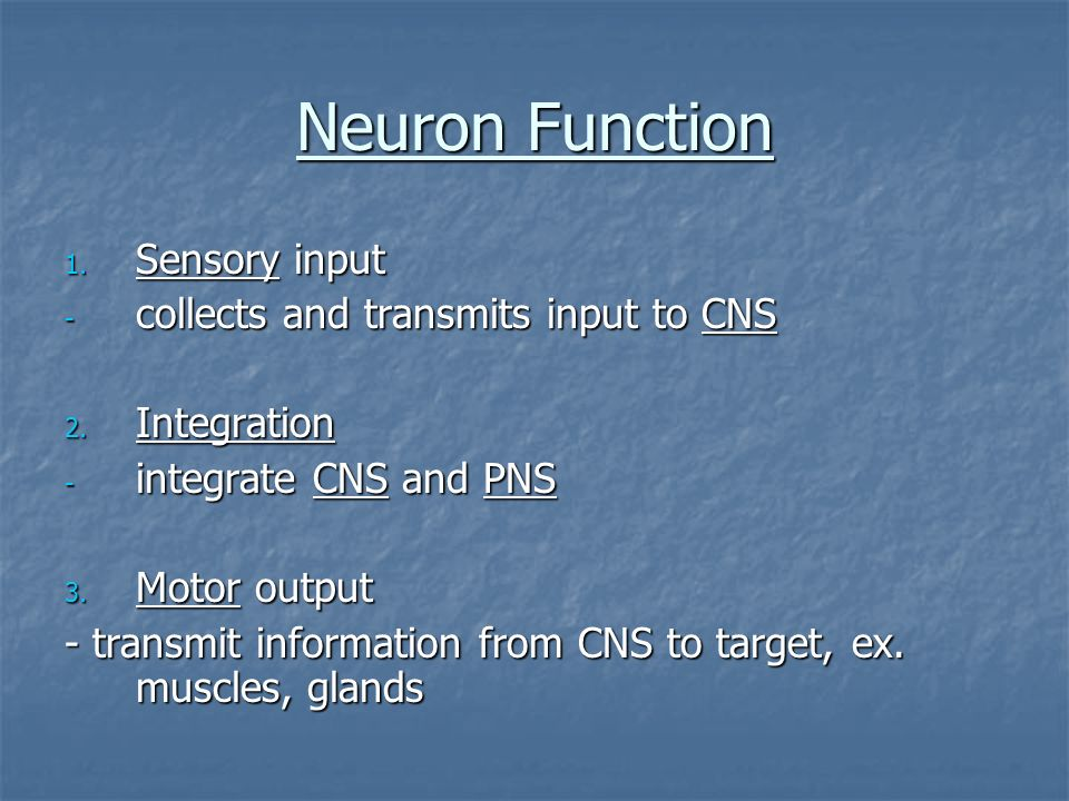 Neuron Function Sensory input collects and transmits input to CNS