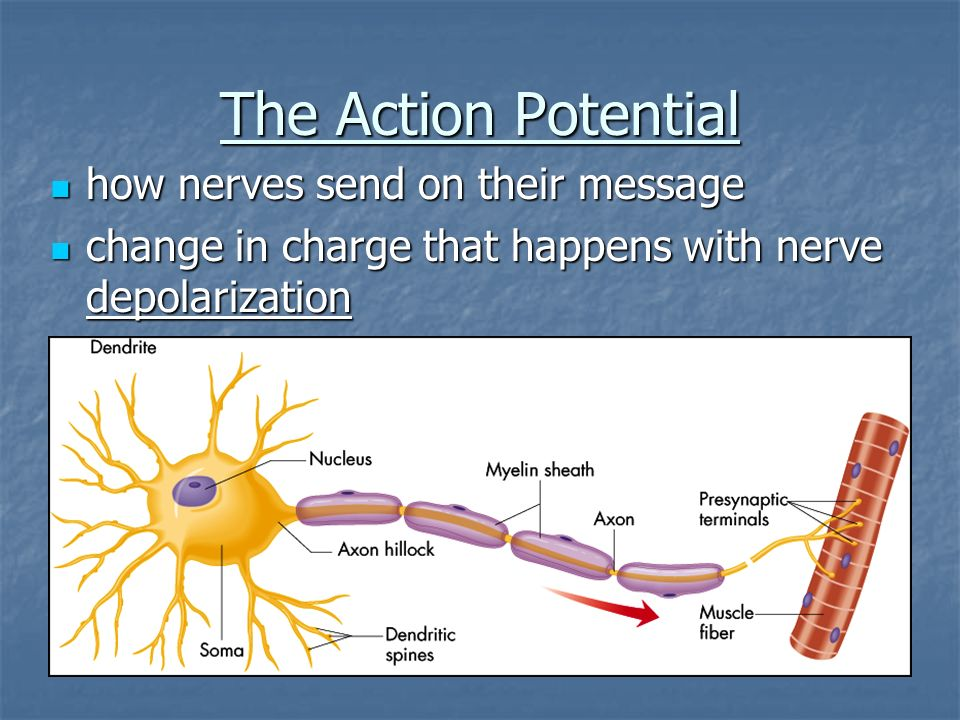 The Action Potential how nerves send on their message