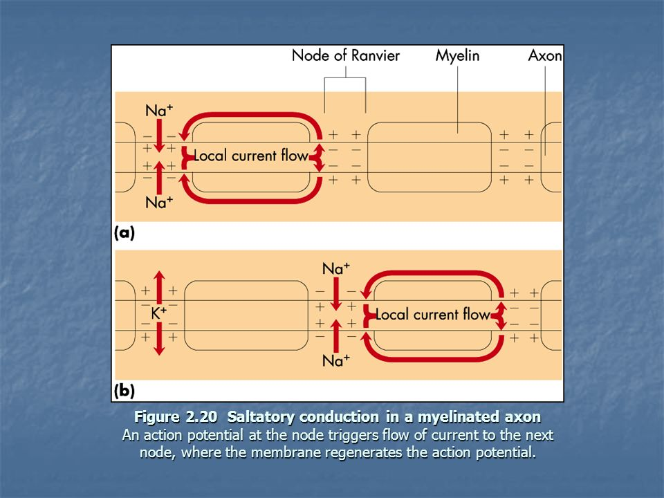 Figure 2.20 Saltatory conduction in a myelinated axon An action potential at the node triggers flow of current to the next node, where the membrane regenerates the action potential.