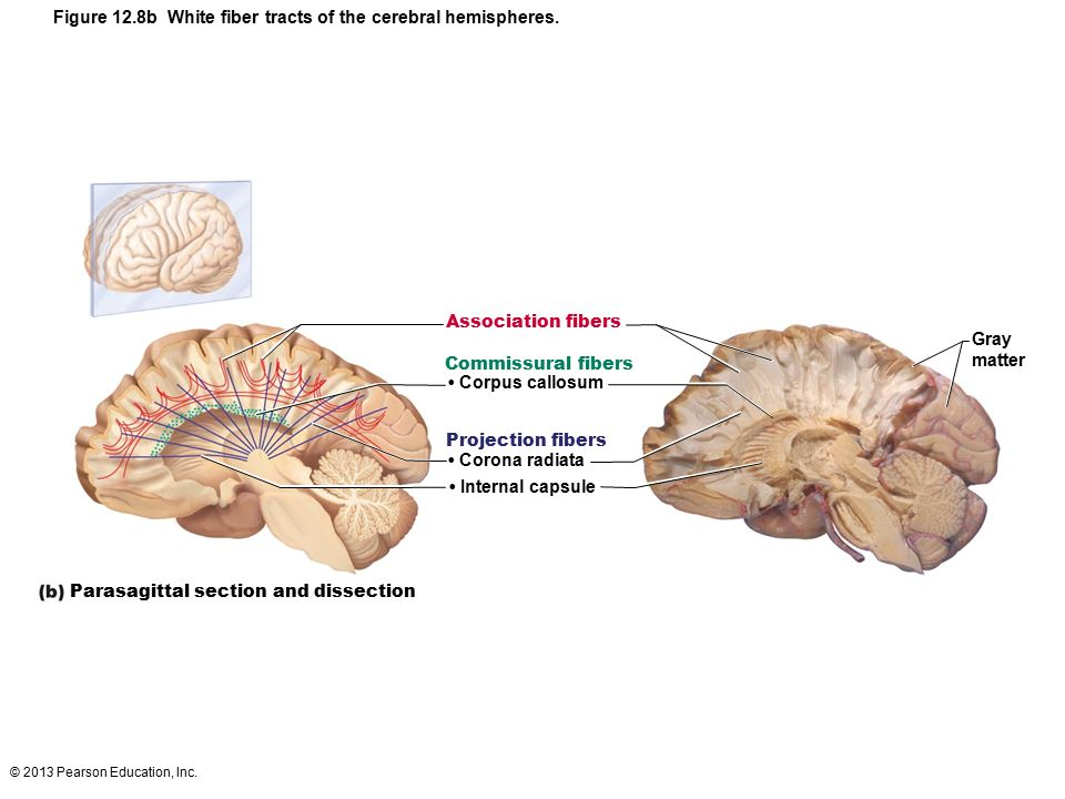 12 The Central Nervous System: Part B. - ppt download