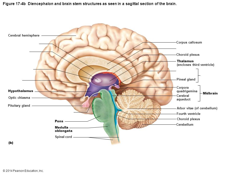 Figure 17-4b Diencephalon and brain stem structures as seen in a sagittal section of the brain.