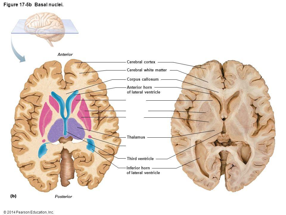 Figure 17-5b Basal nuclei. 12 Anterior Cerebral cortex