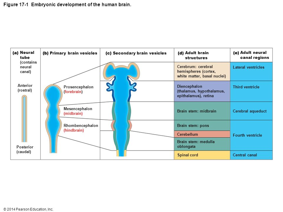Figure 17-1 Embryonic development of the human brain.