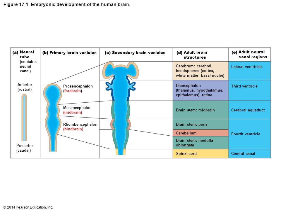 Figure 17-1 Embryonic development of the human brain.