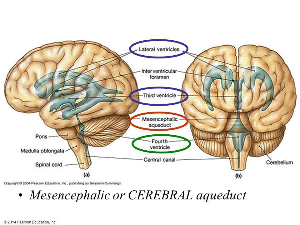 Mesencephalic or CEREBRAL aqueduct