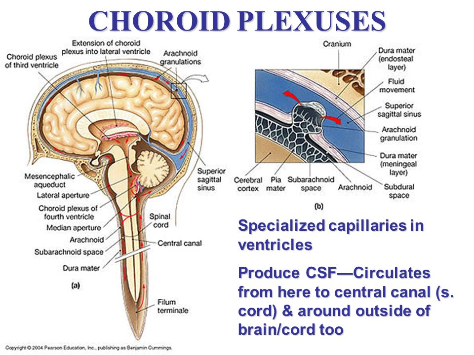 CHOROID PLEXUSES Specialized capillaries in ventricles