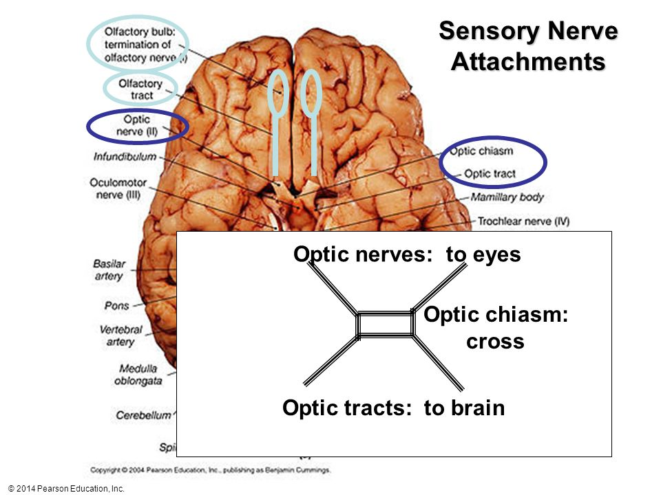 Sensory Nerve Attachments