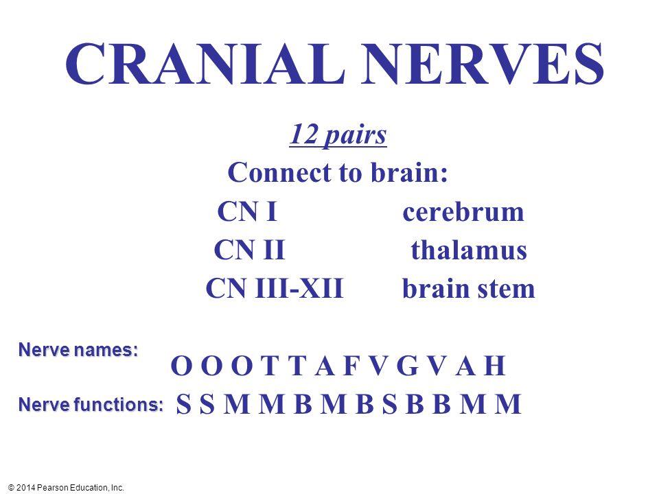 CRANIAL NERVES 12 pairs Connect to brain: CN I cerebrum CN II thalamus