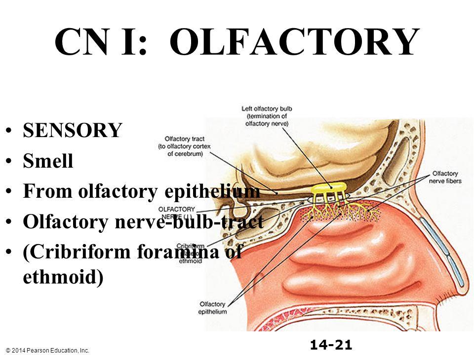 CN I: OLFACTORY SENSORY Smell From olfactory epithelium